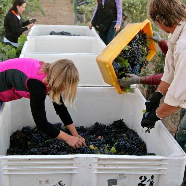 onesta wine harvest 2014